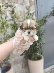 Shih Tzu - O filhote mais querido - O mais lindo dos filhotes