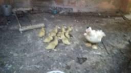 Pata com filhotinhos