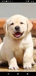 Labradores puros fêmeas e machos
