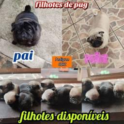 Filhote de Pug disponíveis com pedigree CBKC