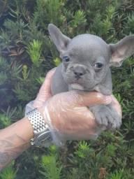 Título do anúncio: Bulldog Frances baby