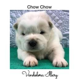 Chow Chow com pedigree e microchip até 18x
