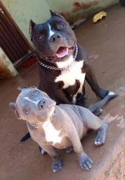 Femia blue de american bully pedigree ibc