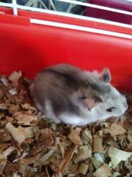 Vende-se hamster anão russo 90,00 Preço a negócia !