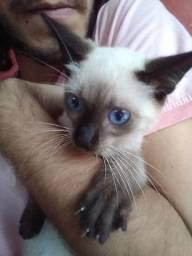Gato siamês (sialata) vermifugado