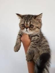 Gatos persa e exóticos