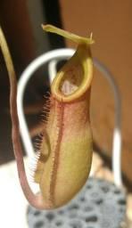 Plantas Carnívoras ( sem golpe )