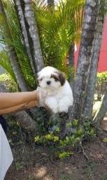 Belo filhote de Shih Tzu - ligue para 11 9 4476 4862 e garanta o seu melhor filhote