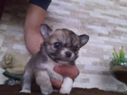 Chihuahua fêmea..