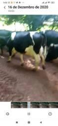 Vacas lactando de 40 kilos 100% inseminação *