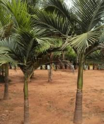 Vendo Palmeira Real - Mudas - Itajaí - SC