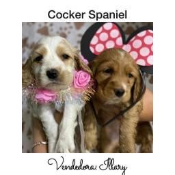 Cocker Spaniel com pedigree e microchip até 18x