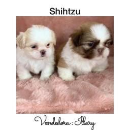 Shihtzu com pedigree e microchip até 18x