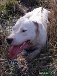 Título do anúncio: Dogo Argentino