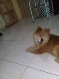 Vendo essa linda cachorra chow chow