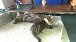 Título do anúncio: Filhotinhos de Bengal, com gatinha tigradinha.