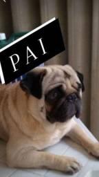 Pug macho com pedigree para cruza