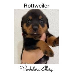 Rottweiller com pedigree e microchip até 18x