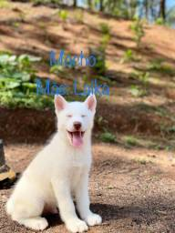 Título do anúncio: Husky siberiano filhotes disponíveis