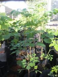 Título do anúncio: Moringa Oleifera