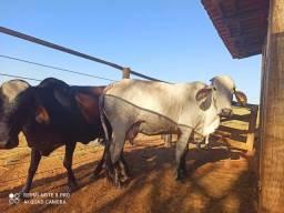 Vacas Leiteiras, algumas com Bezerro (Oportunidade)