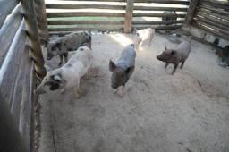 Título do anúncio: vendo porcos para procriação e torresmo