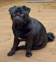 Título do anúncio: Cachorro macho pug