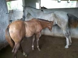 Égua Mangalarga + Potro QM