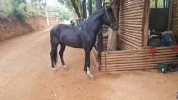 Vendo cobertura do cavalo mangalarga marchador registrado
