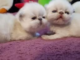 Filhotes de gato persa (Gatil Vale dos Gatos)Fotos Reais