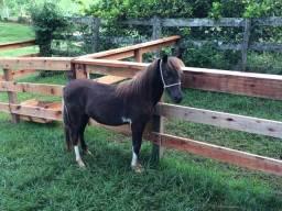 Mini Horse.