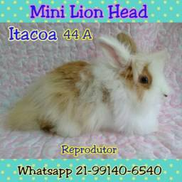Mini Coelho lion head
