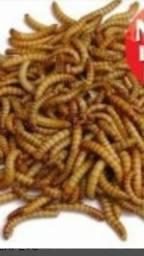 Tenebrios. pote con varias larvas