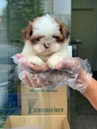 O melhor filhote de Shih Tzu. Ninhada selecionada e exclusiva e ja com a primeira vacina