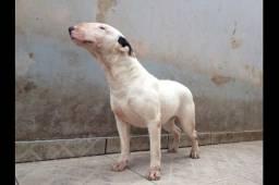 Vendo cadela da raça bull terrier