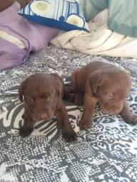 Labradores puros fêmeas