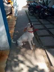 Beagle cachorro doação