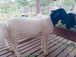 filhotes de carneiro Dorper para reprodução.