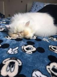 Título do anúncio: Vendo gato persa legítimo