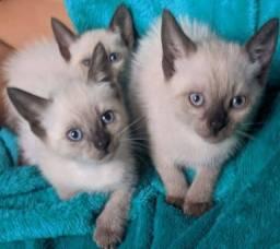 Título do anúncio: Gatinhos Siameses com 45 dias.
