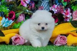 Título do anúncio: Macho branco nascido 27/04 lulu da pomerania ursinho