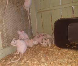 Título do anúncio: ratos twister Hairless , leia anúncio