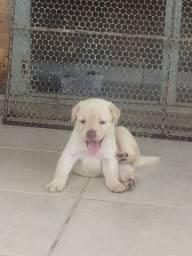 Título do anúncio: Filhotes de Labrador Retriever