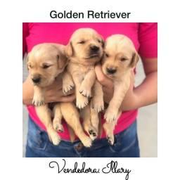 Golden Retriever com pedigree e microchip até 18x