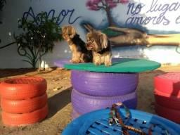 Hospedagem adestramento Domiciliar e creche canina