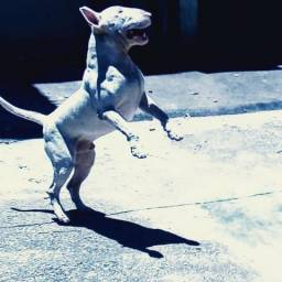 Filhotes incríveis de Bull Terrier English