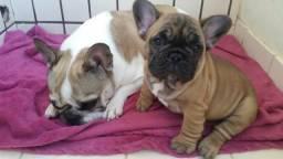 Raridade super fofucha Bulldog frances femea Blue faw com pedigree