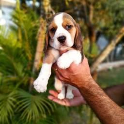 Lindos Filhotes de Beagle, de Qualidade e Procedência