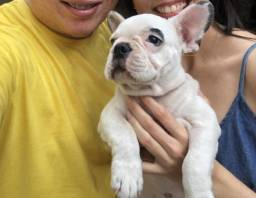 Bulldog francês (Macho)