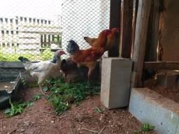 Venda de galinha mestiça